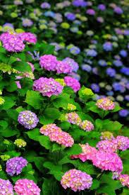 520 best hydrangea images on pinterest hydrangeas flowers and