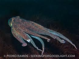 Seeking Octopus Seeking For Light