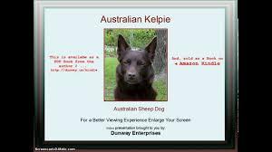 Bench Kelpie Puppies Sale Kelpie Australian Sheep Dog Tips Training Techniques Youtube