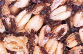 Wheat weevil