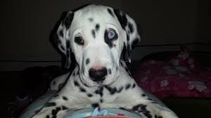 female dalmatian puppy sale blackwood caerphilly pets4homes