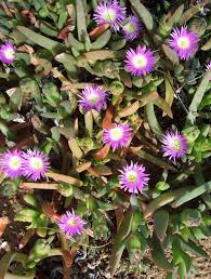 australian native ground cover plants carpobrotus rossii pig face in flower mallee native plants