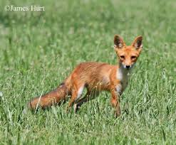 Tennessee wild animals images Tennessee watchable wildlife red fox hunted jpg