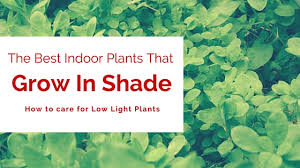 what are the best indoor plants that grow in shade houseplant