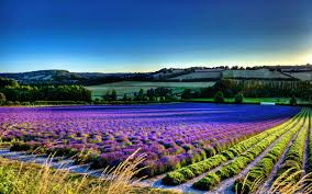 Flower Field Wallpaper - lavender flower wallpapers wallpaper cave