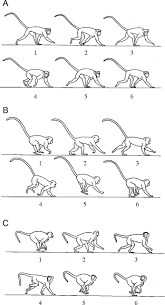 stabilization and mobility of the head and trunk in vervet monkeys