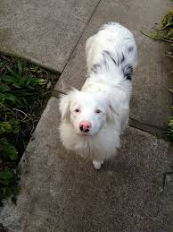 australian shepherd joliet aussie double merle these guys steal my heart every time i just