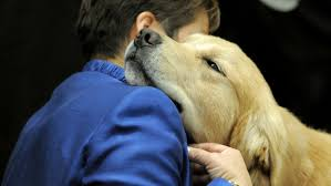 Comfort Retrievers Sandy Hook Shooting Comfort Dogs Deployed To Newtown Video