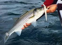 cape cod bay fishing report u2013 may 18 2015 u2013 salty cape