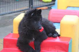 belgian sheepdog for sale uk niavana belgian shepherds niavana belgian shepherds