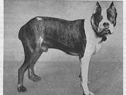 boxer dog breeders near me 11 dog breeds before and after 100 years of breeding starpulse com