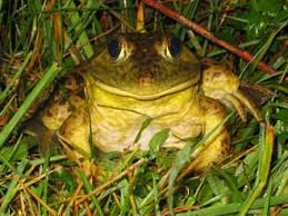 How To Get Rid Of Cane Toads In Backyard Invasive Species Bullfrogs Cane Toads Trout
