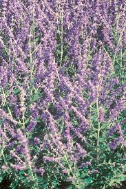 native russian plants 41 best perovskia images on pinterest russian sage garden