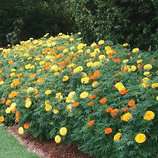 Marigolds Shade by Park U0027s Whopper Mix Marigold Seeds
