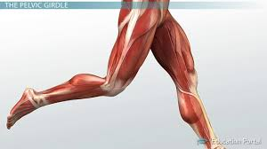 Shoulder And Arm Muscles Anatomy Muscular Function And Anatomy Of The Upper Leg Video U0026 Lesson