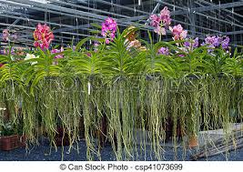 orchid plants tropical orchid plants in greenhouse sale of indoor flowers