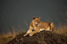 opinion imagining a world without lions