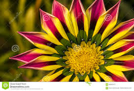 closeup of a pink yellow green orange color gazania flower stock