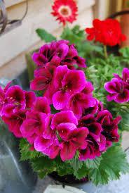 Beautiful Plants by 232 Best Geranium Pelargonium Images On Pinterest Plants