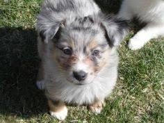 australian shepherd utah rescue pomeranian puppies for sale in utah zoe fans blog cute baby