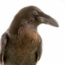 common raven national geographic