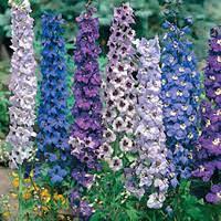 delphinium flowers delphinium flower description cultivation of delphiniums