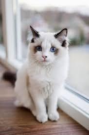 cat breeds picmia