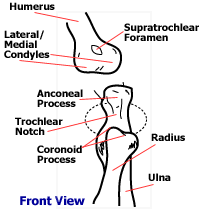 Dog Anatomy Front Leg Elbow Dysplasia In Dogs And Puppies