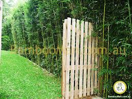Garden Hedges Types Bamboo Plants For Hedging U0026 Fence Screening Bambooman