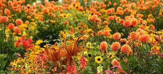 autumn flowers autumn flowers 8 cool weather stunners doityourself com