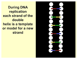 dna replication cell dna is copied what is meant by dna
