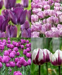collection e blueberries and cream tulips discounted