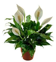 peace lilly peace plant avas flowers