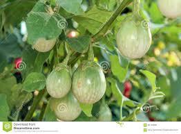 thai eggplant on tree in sunlight stock photo image 60145830