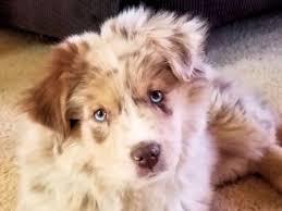 australian shepherd nose honeycreek australian shepherds akc standard aussies puppies