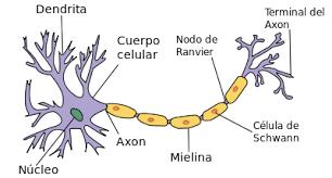 significado de imagenes sensoriales wikipedia el sistema nervioso del perro definición anatomía y subdivisiones