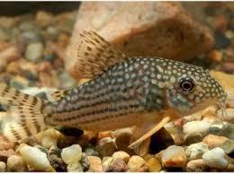 types of aquarium catfish rowland98 com