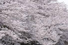 white cherry blossom jeffrey friedl s cherry blossom bloom hits kyoto