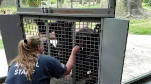 chimpanzees at dallas zoo youtube