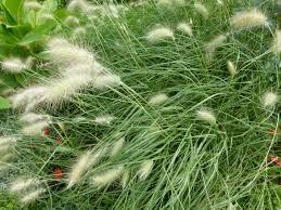 frangula californica wikipedia pennisetum villosum risk u2013 california invasive plant council