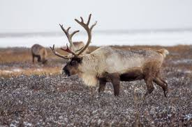 expanded reindeer cull arouses fear suspicion in siberia taiwan