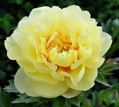 yellow peonies 9 lessons in growing the peonies