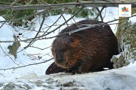 happy 150th canada u of t researchers sequence the beaver u0027s genome