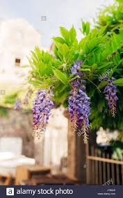 beauty rooted in the large wisteria trellis stock photo royalty