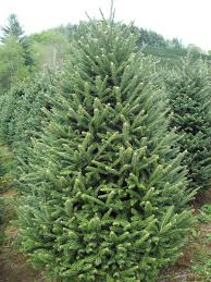 six to seven foot premium fraser fir tree u2013 clements christmas trees