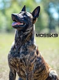 belgian sheepdog breeders ontario knpv dutch shepherd belgian malinois working dog moss k9 moss k9