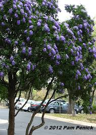 tree with purple flowers best smelling tree in sophora secundiflora digging