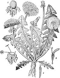 plants native to europe dandelion clipart etc