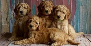 goldendoodle puppy treats puppy treats the best recipes for high value treats