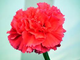 carnation flowers wallpaper tadka